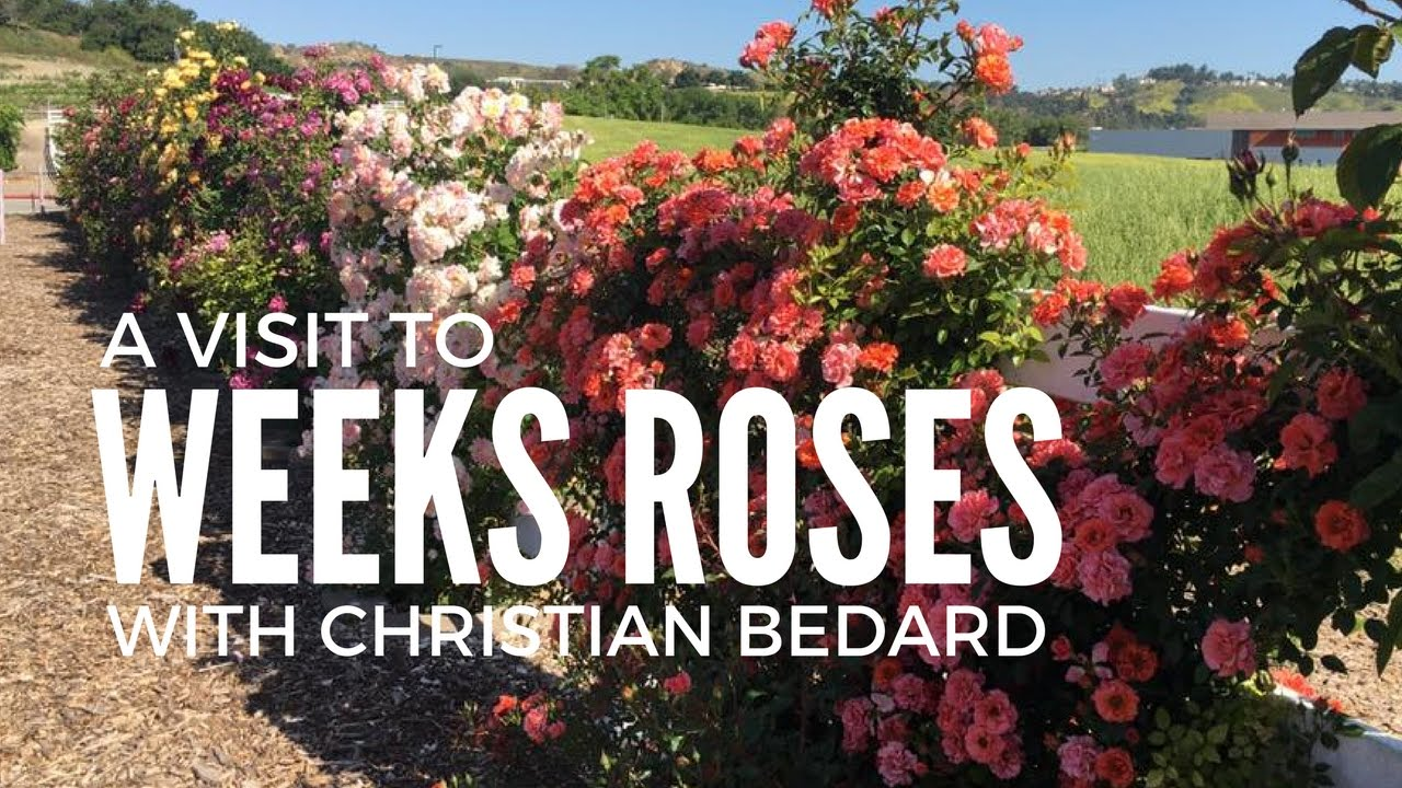 A Visit To Weeks Roses Trial Gardens With Christian Bedard Youtube