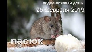 Серая крыса.  25 февраля 2019 года