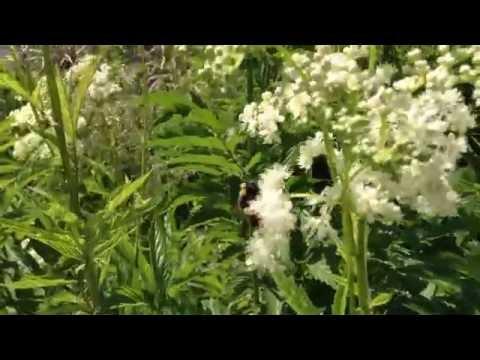 Таволга (лабазник) трава, 50 г