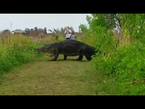 Thumbnail: Massive Alligator Shocks Tourists As He Nonchalantly Strolls By On Walking Path