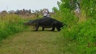 Repeat youtube video Massive Alligator Shocks Tourists As He Nonchalantly Strolls By On Walking Path