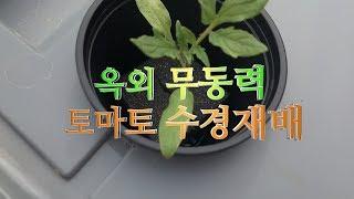토마토로 토마토 키우기 4탄 남은 싹으로 수경재배를 시…
