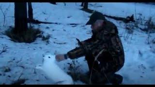 Выпуск зайца в охот.угодья - чтобы  восстановить численность .