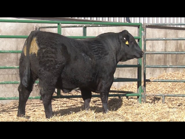 Schiefelbein Angus Farms Lot 235