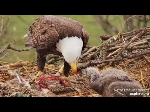 Decorah Eagles North 12 30PM Mr brings in a pheasant and while feeding DN9 he pulls out an egg 03201