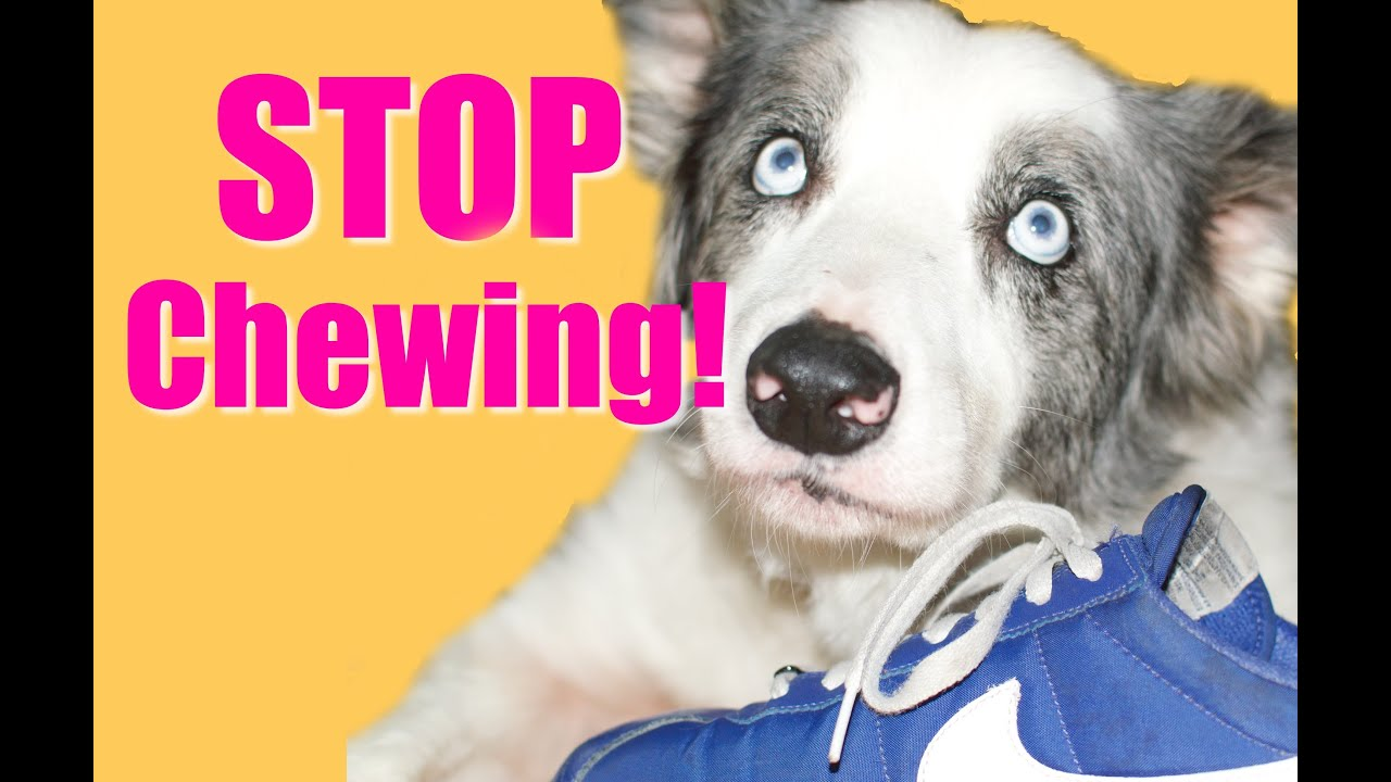 How to Teach Your Puppy or Dog to Stop Chewing  YouTube