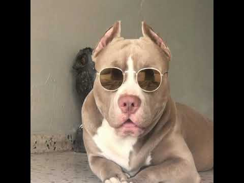 American Pitbull with sunglasses
