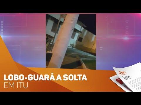 Lobo-guará a solta em Itu - TV SOROCABA/SBT