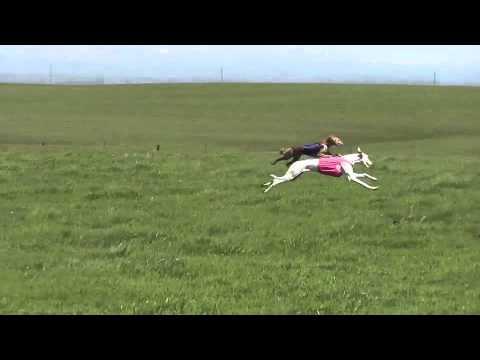 AKC Sierra Slopes Best in Field Stake. Sloughhouse, CA