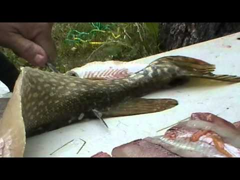 Filletting And Deboning Northern Pike (Jack Fish)