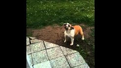 Englanninbulldoggi sateessa