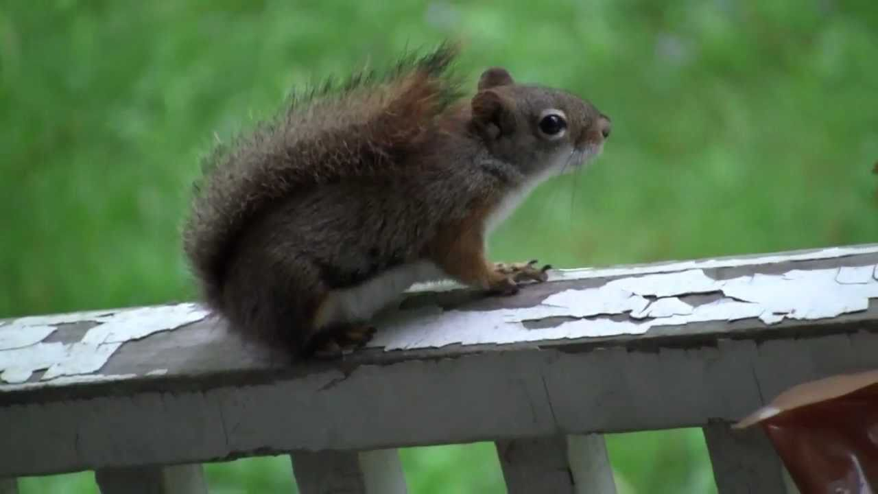 Red Squirrel barking