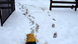 """Ammo The Dachshund Braves The """"winter"""" To Feed The Ponies Part2"""