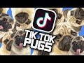 Pugs of Tik Tok Compilation! LOADS OF CUTE PUGS!