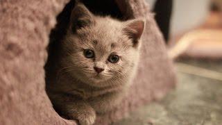 Британская Короткошерстная, Породы кошек описание, уход