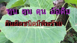 สรรพคุณทูน คูน หรือออดิบ ต้นแบบไหนกินแล้วปลอดภัย /โดยฮอยไทยอีสาน