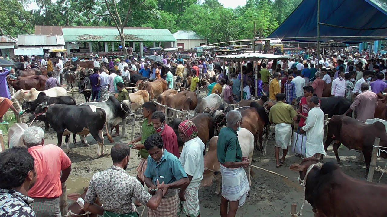 আজ ২৯ শে জুলাই মাঝারী বলদ গরুর দামদর জেনে নিন মিরগন্জ হাট ।