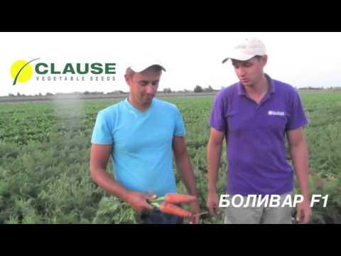 Отзывы о новинке: морковь БОЛИВАР F1, CLAUSE