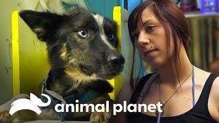 Ringo, ¡el perro con un megaesófago! | Dra. Dee: Veterinaria de Alaska | Animal Planet