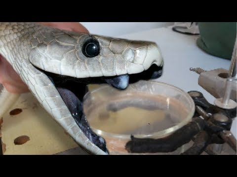 DEADLY BLACK MAMBA VENOM MILKING!!! | BRIAN BARCZYK