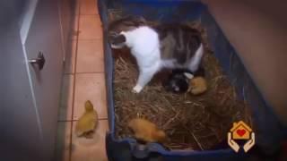 Кошка хотела иметь большую семью котятами и утятами она их любит