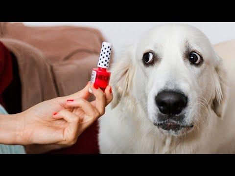 Funny Dog Don't Like Nail Polish | Golden Retriever Bailey