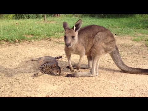 Kangaroo Tries Saying Sorry to Cat (Storyful, Cute)