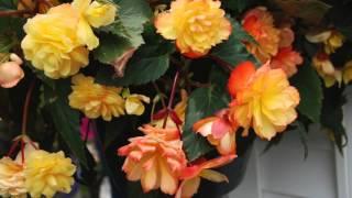 Tuberous Begonias Brighten Shady Gardens