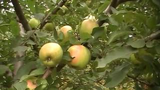 видео Яблоня Голден Делишес