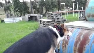 Agility: Barrels - Banjo The Search Dog