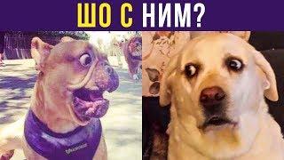 Приколы с собаками. ШО С НИМ? | Мемозг #232