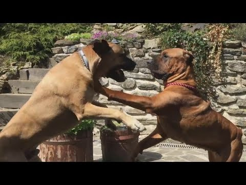 tosa-inu-&-boerboel---awesome-dogs
