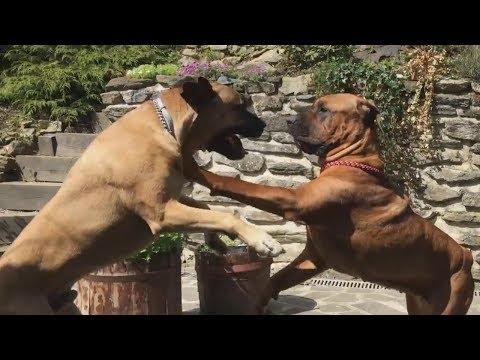 Tosa Inu & Boerboel - Japanese Mastiff vs African Mastiff