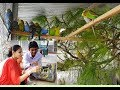 Budgies Parrot Purchase And Release In New Breeding Colony / Budgies Parrot Buy Purchase Price.