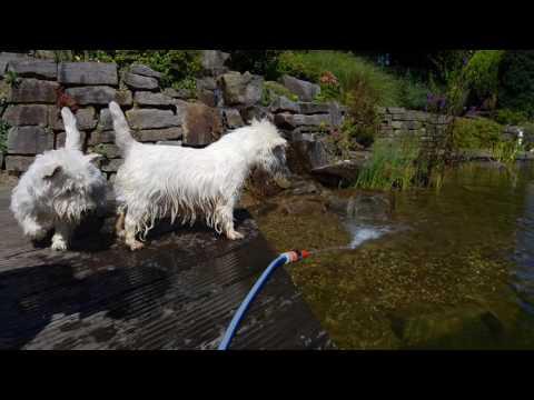 Westie vs. Gartenschlauch | Action Westies / West Highland White Terrier Action