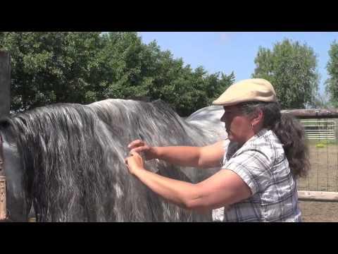 PRE Andalusian - Washing The Long Hair - Cowboy Magic