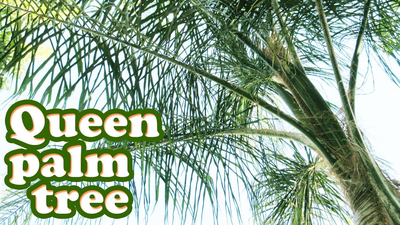 Queen Palm Tree Tropical Plant   Growing Types Of Palm Trees   Tall Plants    Gardening Jazevox Video   YouTube