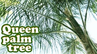 Queen Palm Tree Tropical Plant - Growing Types Of Palm Trees - Tall Plants - Gardening Jazevox Video