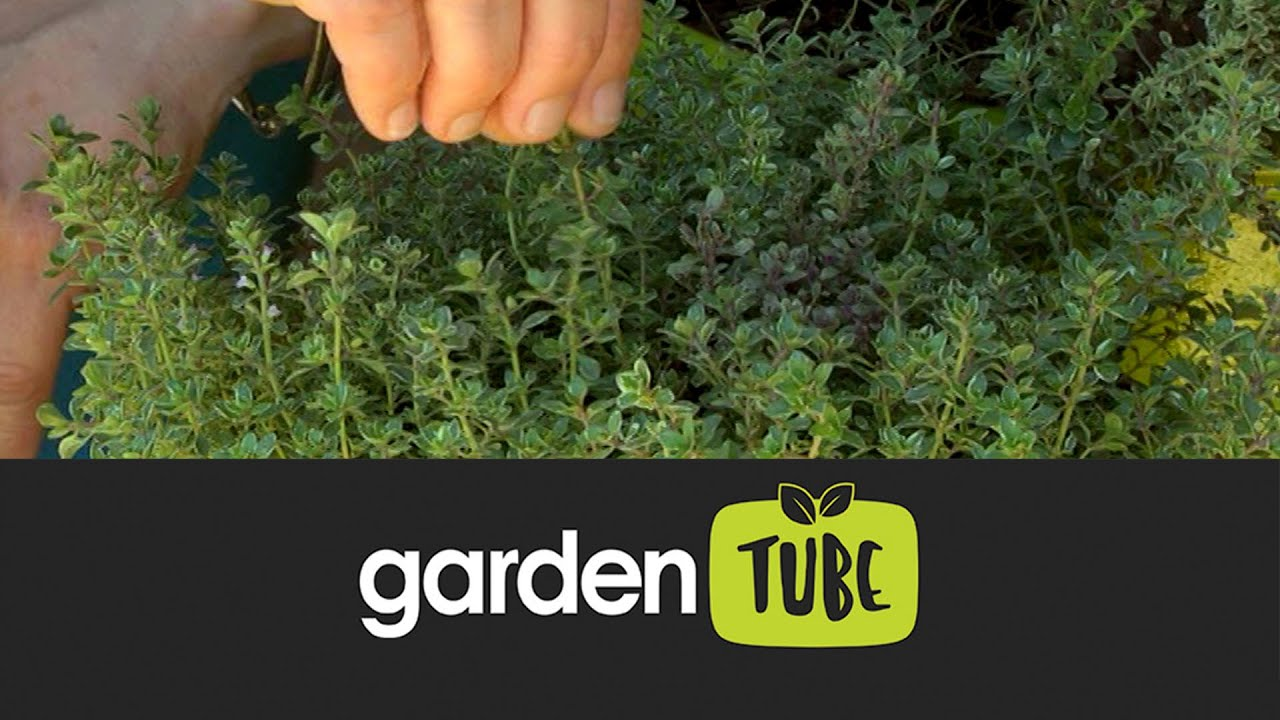 Download Tips for growing thyme