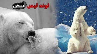 الدب القطبي أكبر حيوان مفترس و مهدد بالإنقراض Youtube