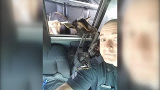 Officer Detains Goats Found Eating Cat Food In Woman's Garage