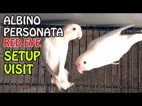 Albino Personata Parrot Setup visit | informative video in URDU/Hindi