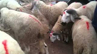 meilleur mouton au monde sardi maroc