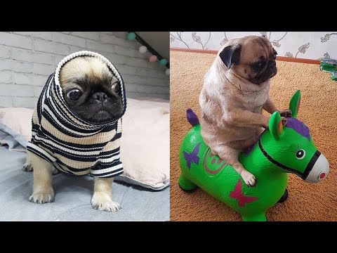 Cutest Pug Puppies Video Compilation - Funny Pug Compilation