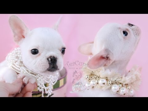 Gorgeous French Bulldog Puppies by TeaCups, Puppies and Boutique