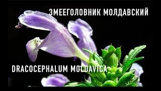 видео Змееголовник молдавский