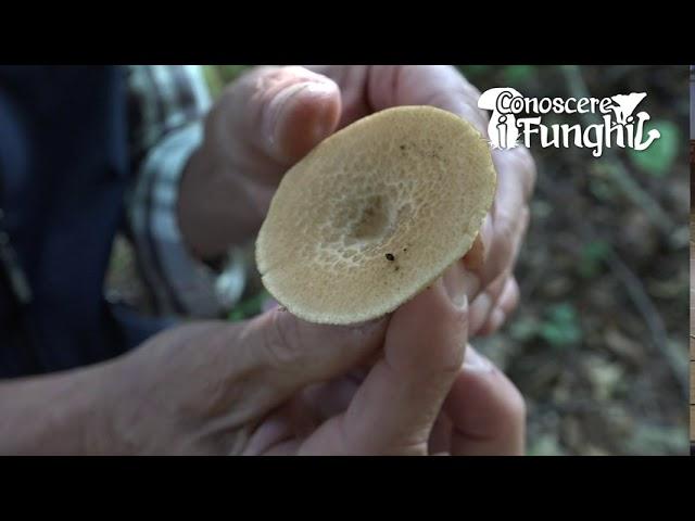 Conoscere i Funghi: Polyporus Tuberaster [ NON COMMESTIBILE ]