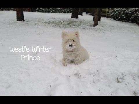 Westie's first winter