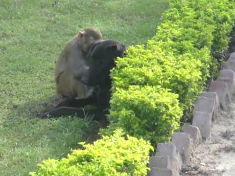 Monkey Fucking The Dog