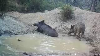 Fotokapan domuzların keyfi yerinde